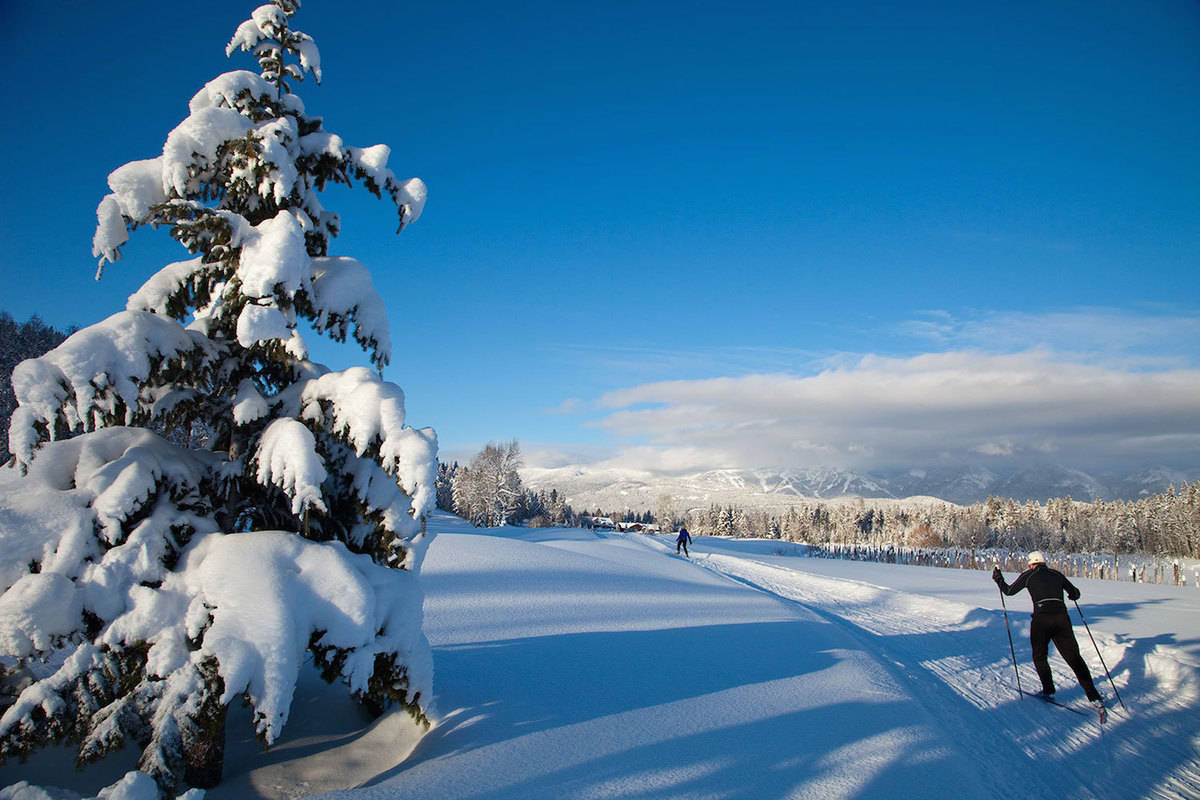 Cross country skier goes past large tree covered in snow