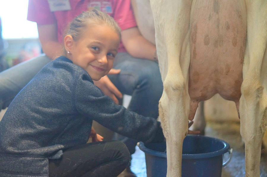 Young girl milking a cow