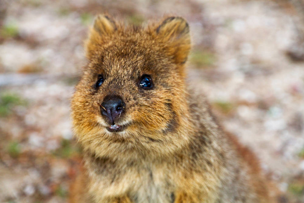 Cute quokka smiles for photo