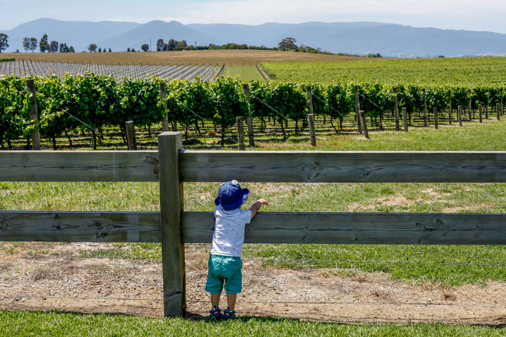 Young boy leans over fence in front of vineyard