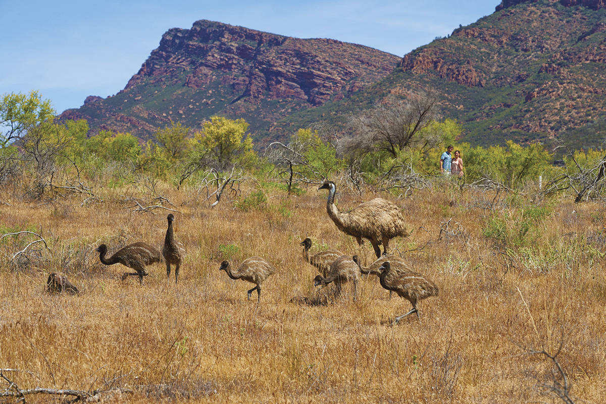 Emus roaming around outback setting with tourists in background