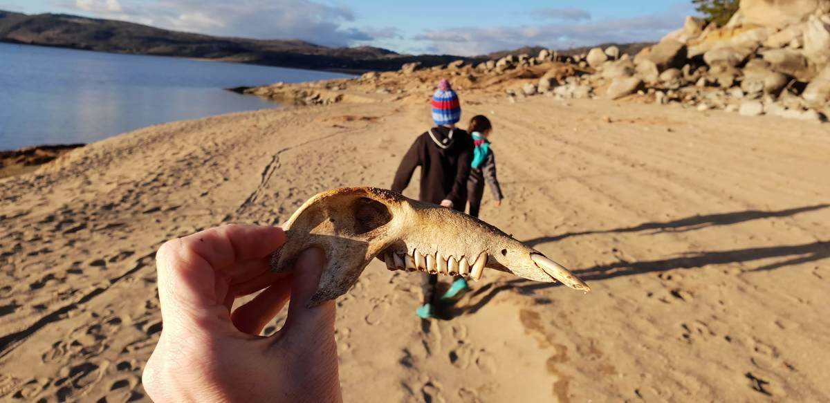 What kind of animal is this? The skull we found at Lake Jindabyne.
